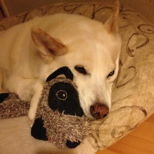 My dog with her raccoon toy