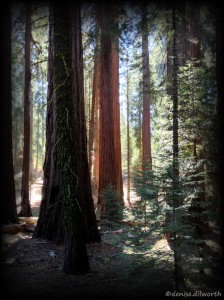 Grove of sequoia and redwoods